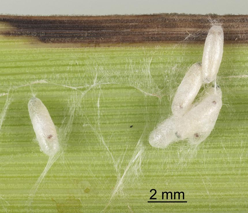 Factsheet Cabbage Tree Moth Epiphryne Verriculata