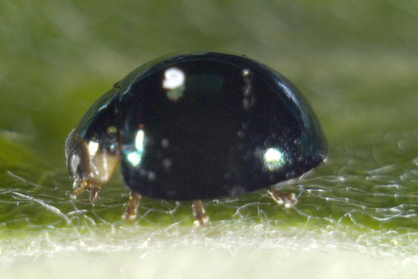 Factsheet: Steelblue ladybird - Halmus chalybeus