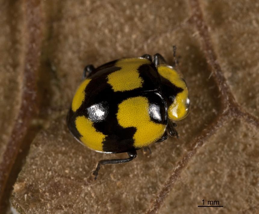 factsheet  fungus-eating ladybird