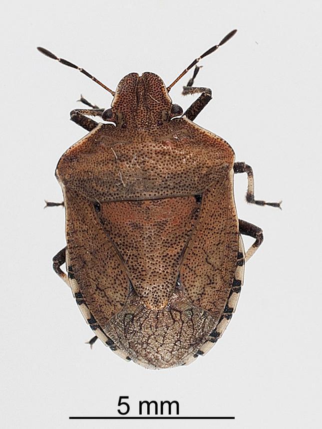factsheet brown shield bug dictyotus caenosus