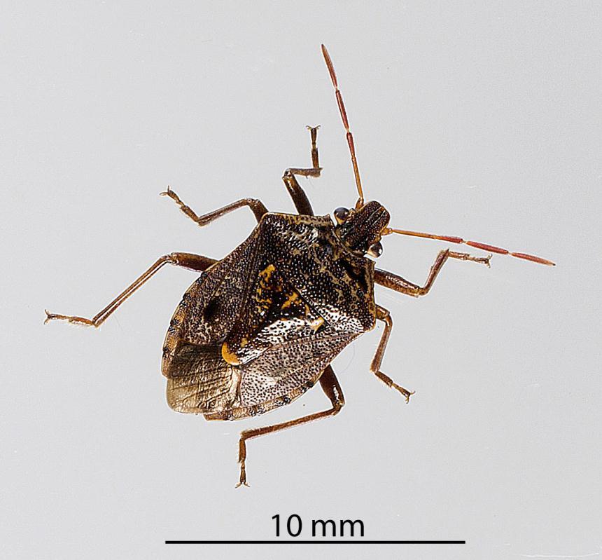 Factsheet: Brown soldier bug - Cermatulus nasalis nasalis