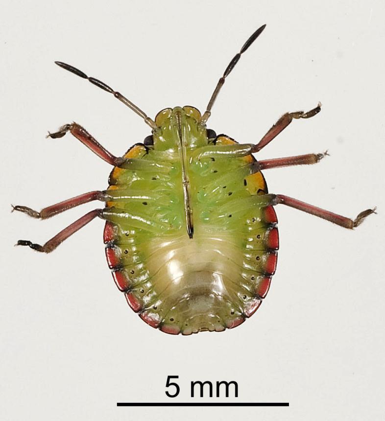 Factsheet: Green vegetable bug - Nezara viridula