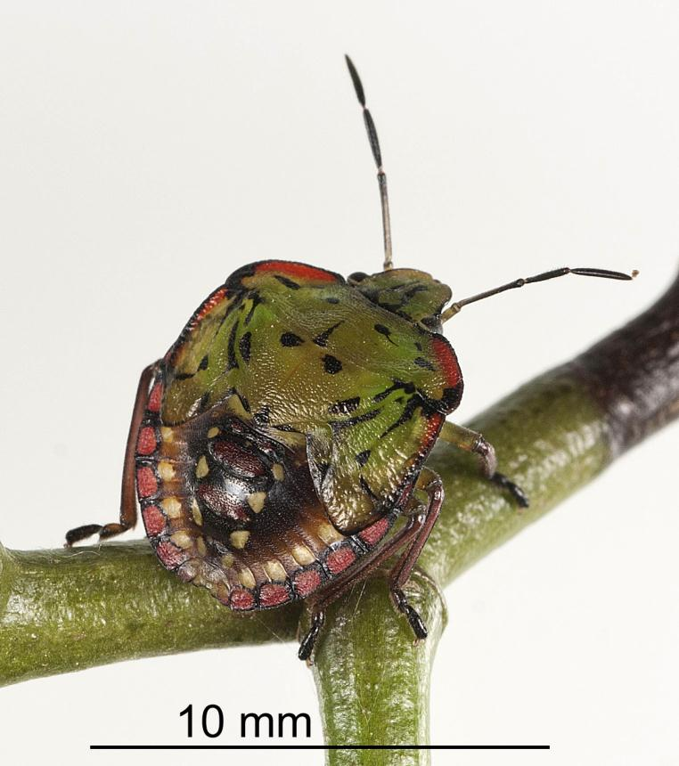 Factsheet: Green vegetable bug - Nezara viridula