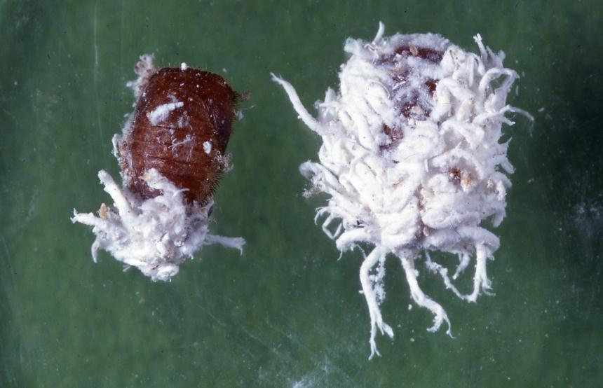 Two Pupae Of Mealybug Ladybirds Cryptolaemus Montrouzieri Coleoptera Coccinellidae Pupa On Left With The Larval Skin Removed Plant Food Research