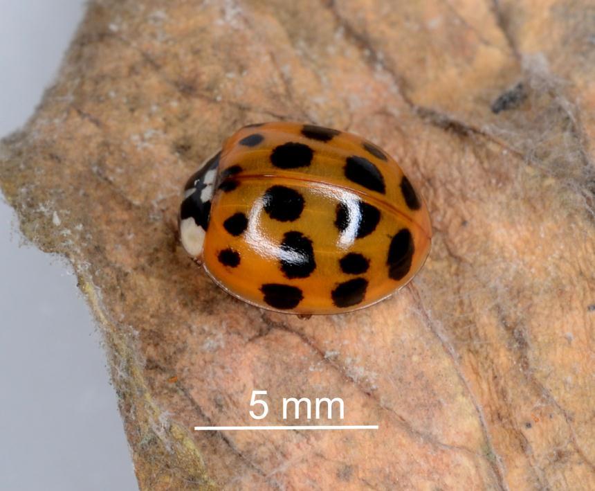Factsheet: Harlequin ladybird - Harmonia axyridis
