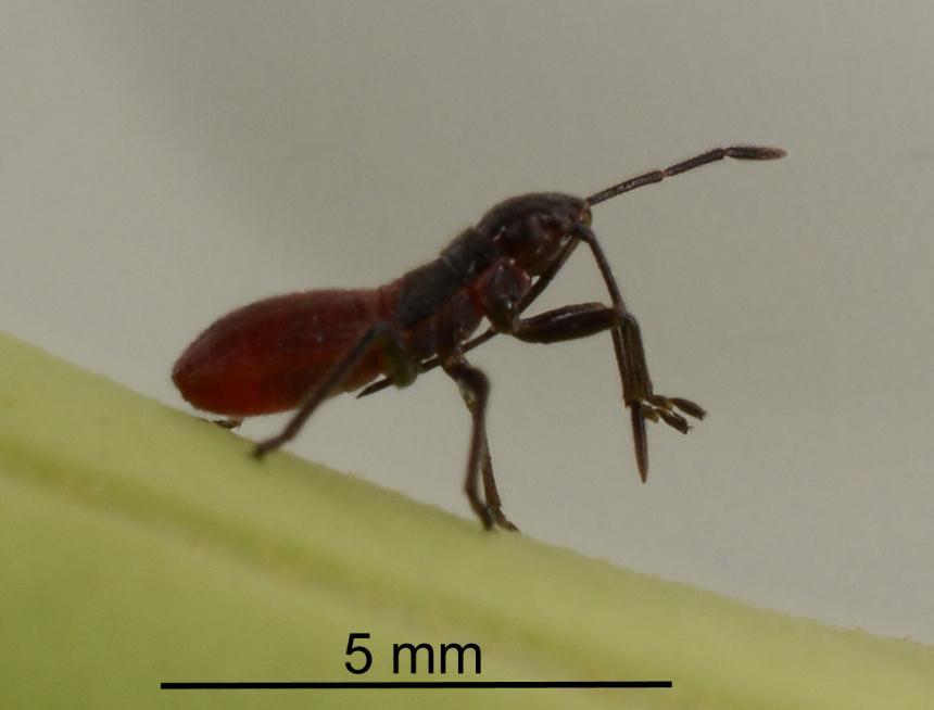 Factsheet: Swan plant seed bug - Arocatus rusticus