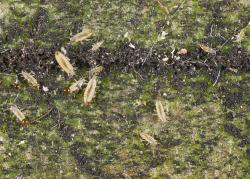 Factsheet: Greenhouse thrips - Heliothrips haemorrhoidalis