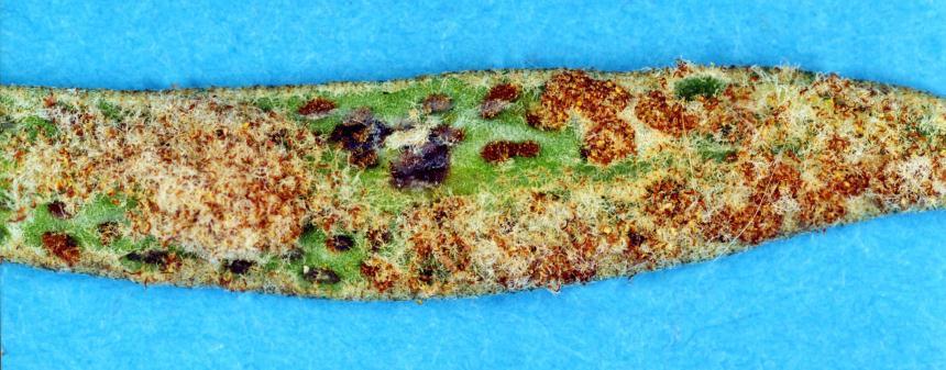 Factsheet Leather Leaf Spore Eater Calicotis Crucifera